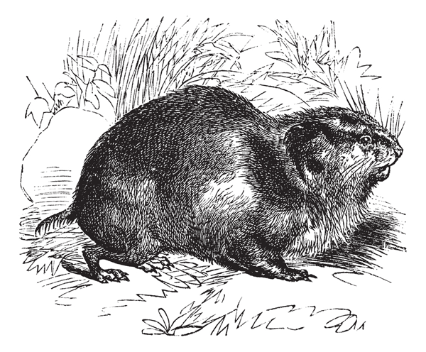 drawing of a lemming