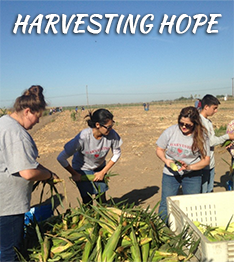Students harvesting corn