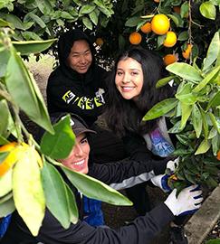 Students picking oranges