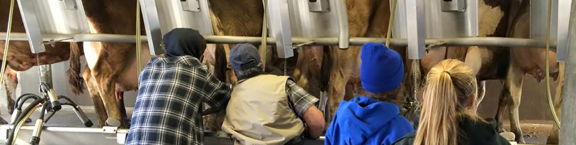 Students Milking Cows