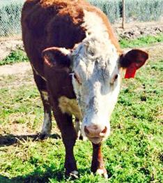 Tulare FFA Cow