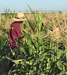 Tulare FFA Corn Field