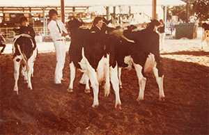 old photo of ffa students showing cows at fair