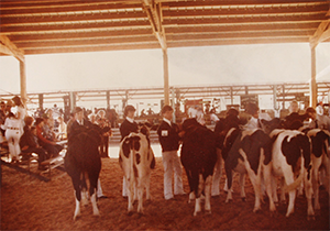 old photo of ffa students showing cows at the fair