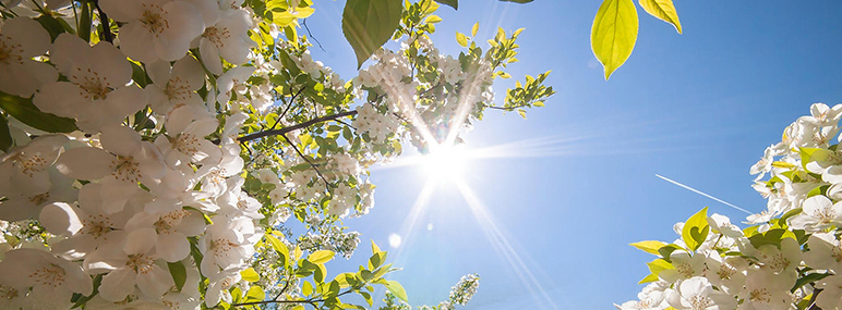 Spring blossoms on trees in front of a clear blue sky