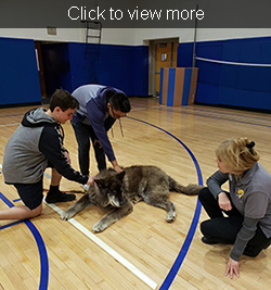 Click to view more. Two male students pet a wolf in the gym.