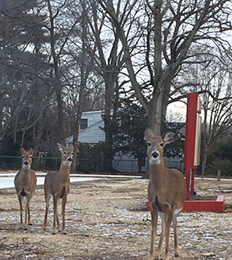 Three deer spotted outside front of school