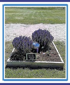 Lavender garden planted on campus