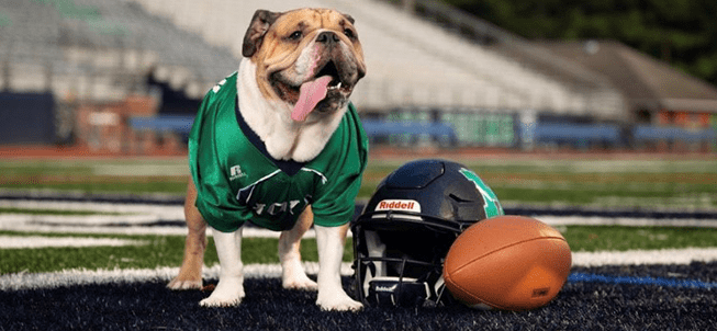 Bulldog wearing a football jersey on a football field next to a helmet and football