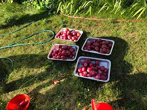 Four bins of potatoes picked from school garden