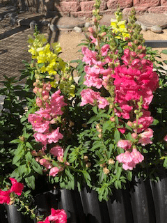 snapdragon garden bed