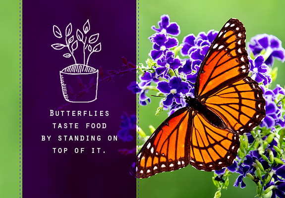 Butterflies Taste Food