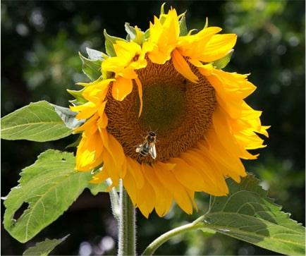 bee inside a sunflower